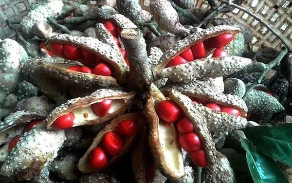 Khi chín, quả dổi sẽ nứt ra làm lộ phần hạt màu đỏ tươi