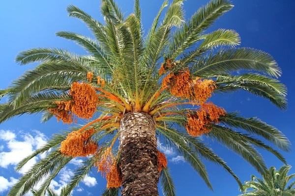 Quả thu được từ cây Phoenix Dactylifera có rất nhiều dưỡng chất tốt cho sức khỏe