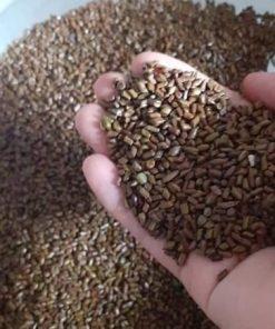 Dùng nhiều hạt muồng có thể bị đi phân lỏng, khó tiêu