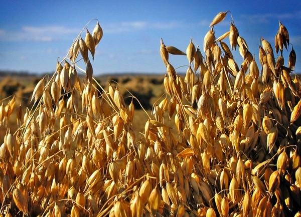 Hạt yến mạch già được dùng làm lương thực, thực phẩm bổ sung dinh dưỡng...